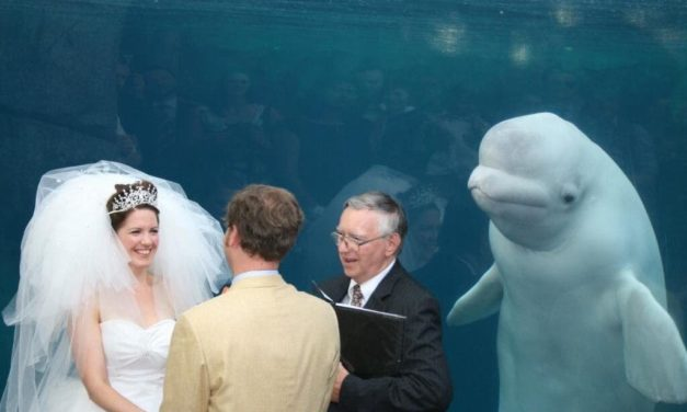 Beluga Whale Attends A Wedding And Upstages The Bride