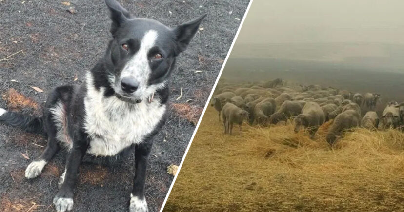 Hero Border Collie Saves Flock Of Sheep From Deadly Wildfires In Australia