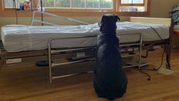 Loyal Dog Doesn't Realize His Owner Is Gone Forever, Still Waits For Him Next To Empty Hospital Bed