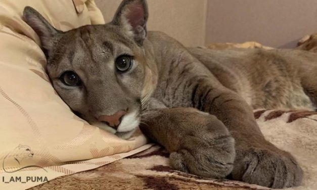 This Puma Lives As a Spoiled House Cat – And It's The Best Thing You'll See All Day