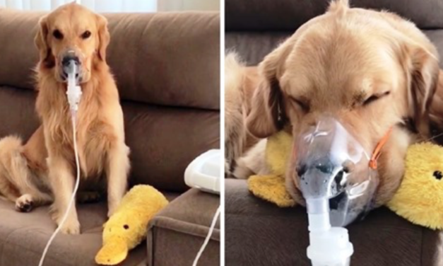 Sick Golden Retriever Patiently Obeys Mom & Wears Breathing Mask