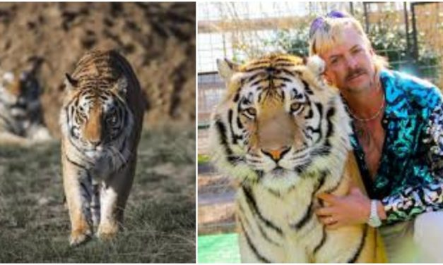 Sanctuary That Rescued Dozens Of 'Tiger King' Tigers Is Struggling To Stay Afloat During Pandemic