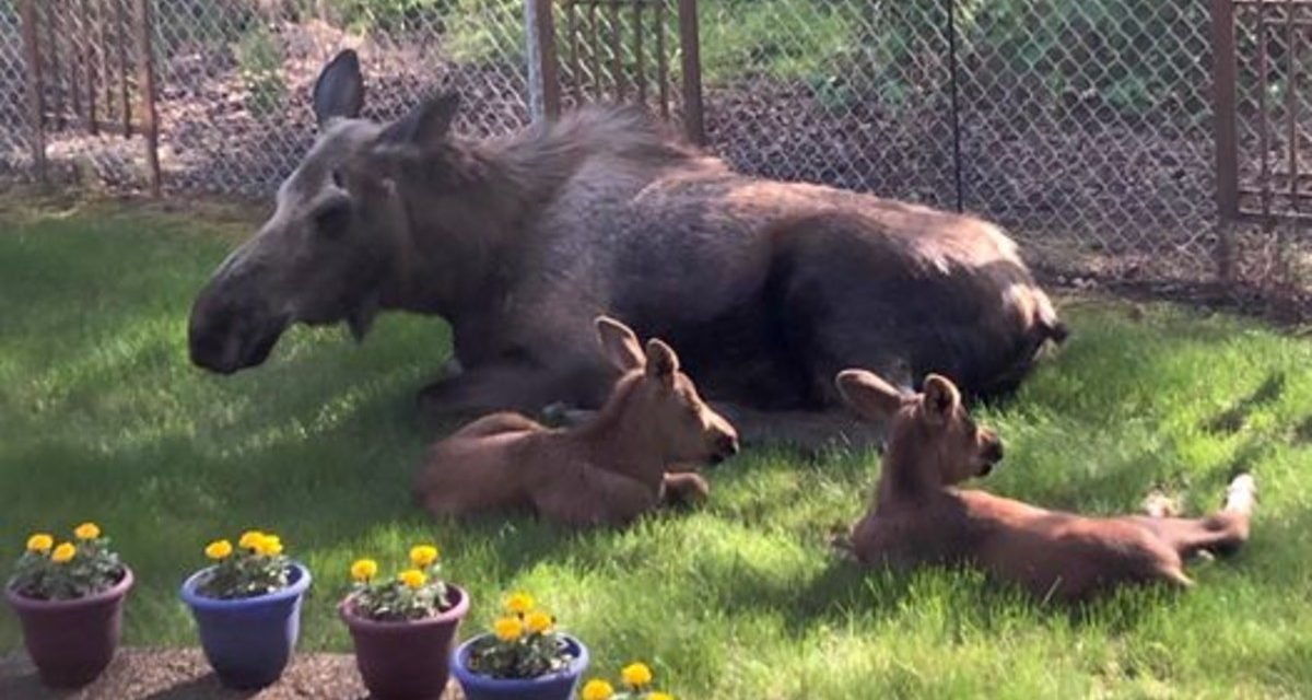 Man Looks Outside His Window And Spots a Family of Moose Spending The Day in His Backyard