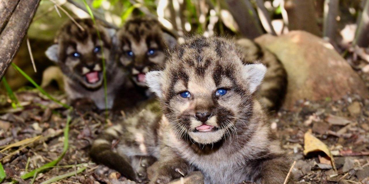 Three Mountain Lion Cubs Born In Santa Monica Mountains