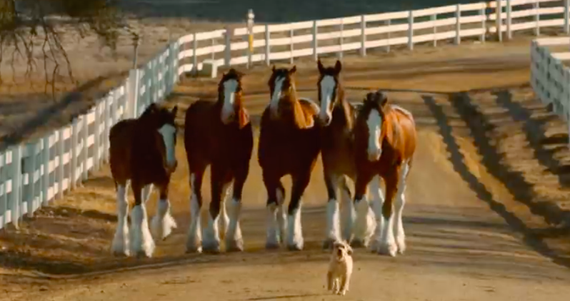 Budweiser Clydesdales Reunite With Furry Friend In An Adorable New Commercial