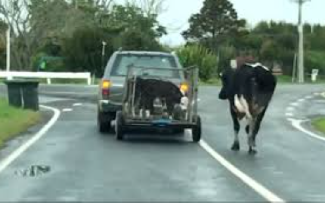 VIDEO: Mother Cow Runs After Her Calves Were Taken By Force