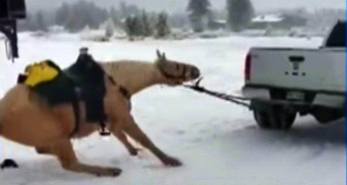 Horse is tied to back of truck and forcefully dragged down road