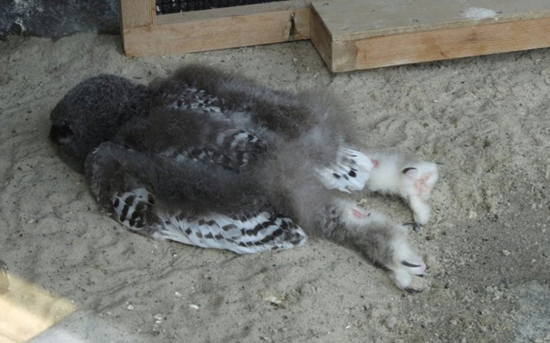 People Are Just Learning Baby Owls Sleep Face Down As Their Heads Are Too Heavy