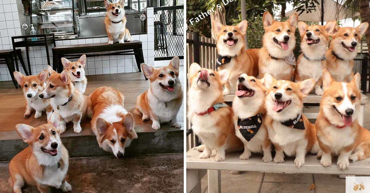 This Corgi Café Lets Guests Play And Cuddle With Corgis, And It's Every Dog Lover's Dream