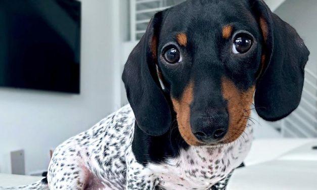 Puppy Born With Unique Black and White Spots Resembles A Cow