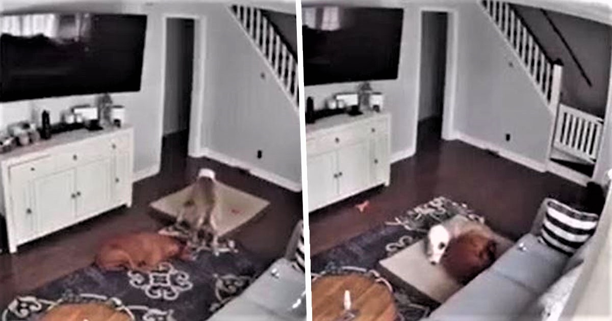 Dog Bringing His Bed To His Sick Brother Caught On Camera