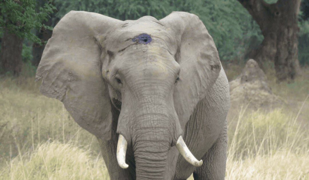 Gentle Elephant With A Gunshot Wound On His Forehead Walks Up To Humans For Help