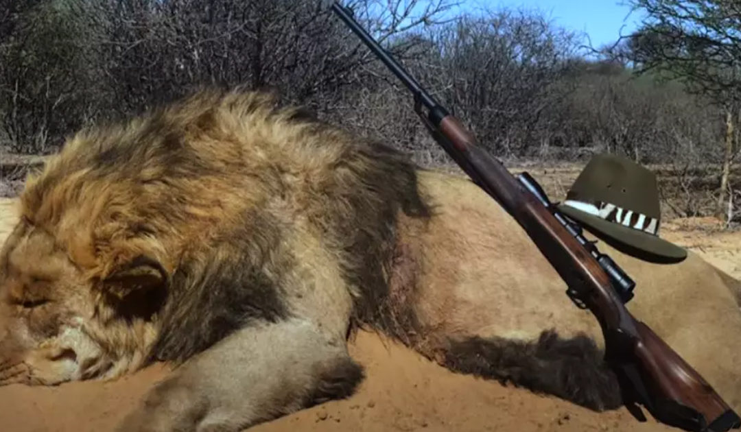 12,000 Lions Are Being Farmed In Captivity Only To Be Shot Dead In 'Canned Hunts'