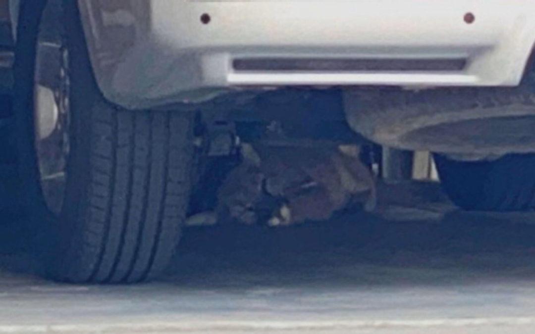Mountain Lion Found Sleeping Under Car In Longmont Garage