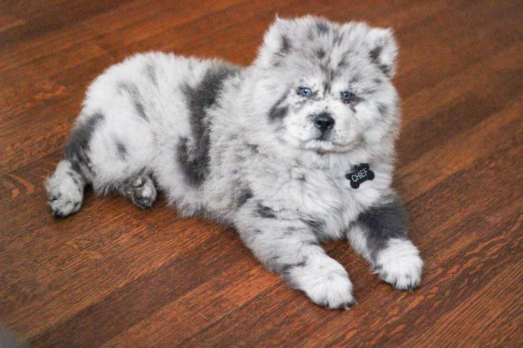 Meet Chief, the Adorable Chow Puppy Who Looks Like A Bowl Of Oreo Ice Cream