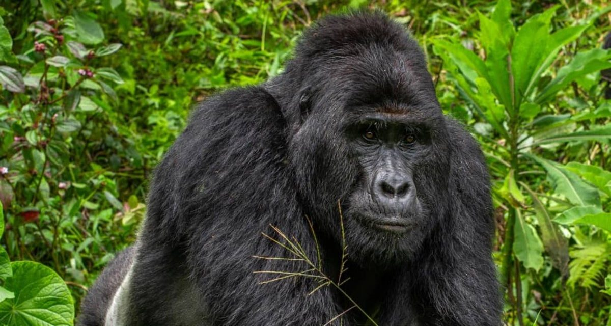 Rafiki, The Famous Endangered Silverback Gorilla Has Been Shockingly Killed By Poachers