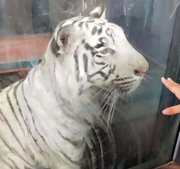Heartbreaking Video Shows 'Depressed' Underfed White Tiger Pacing In Endless Circle at Zoo