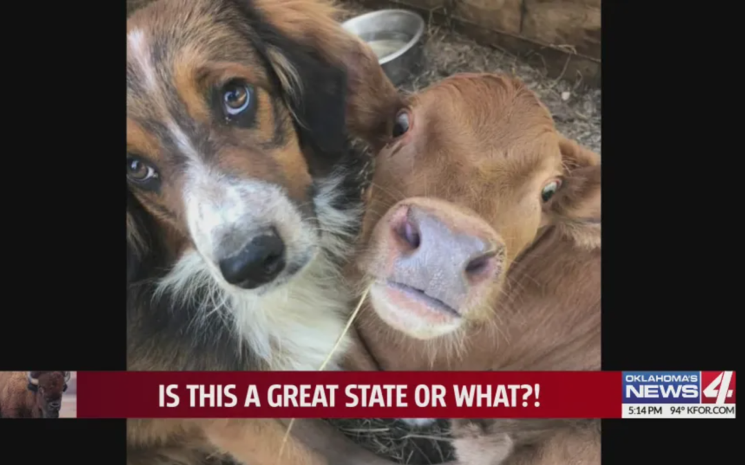 Unique Friendship Between A Failed Cattle Dog And A Downed Calf Who Are Inseparable