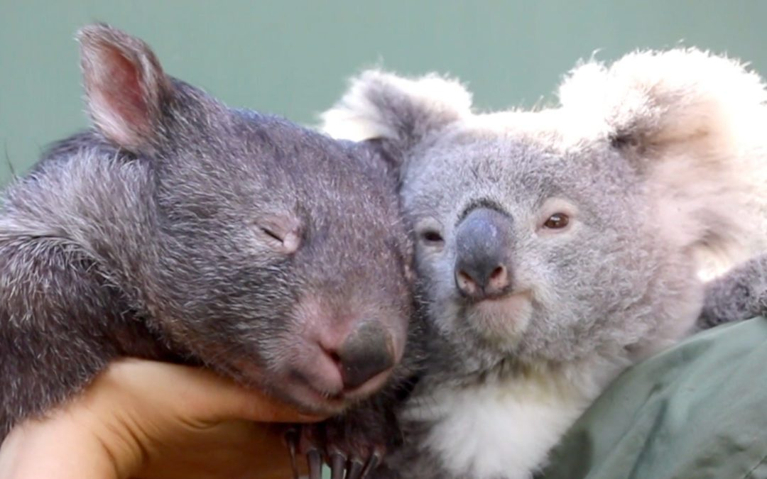 Koala And Wombat Become Best Friends After Meeting At An Australian Zoo