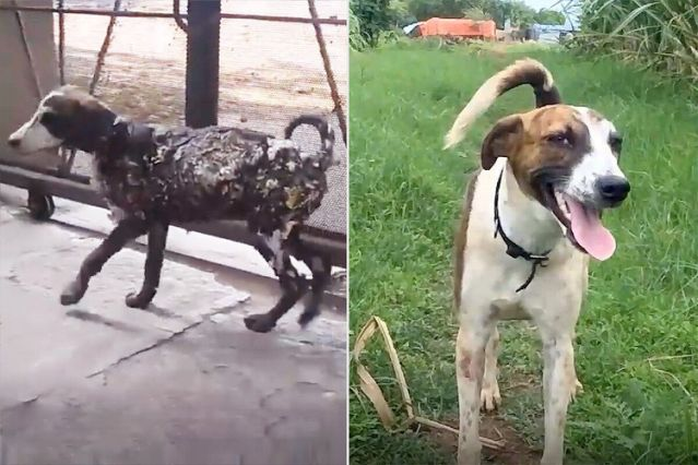 Dog Found Covered in Tar and Stuck to Pavement Makes Incredible Transformation