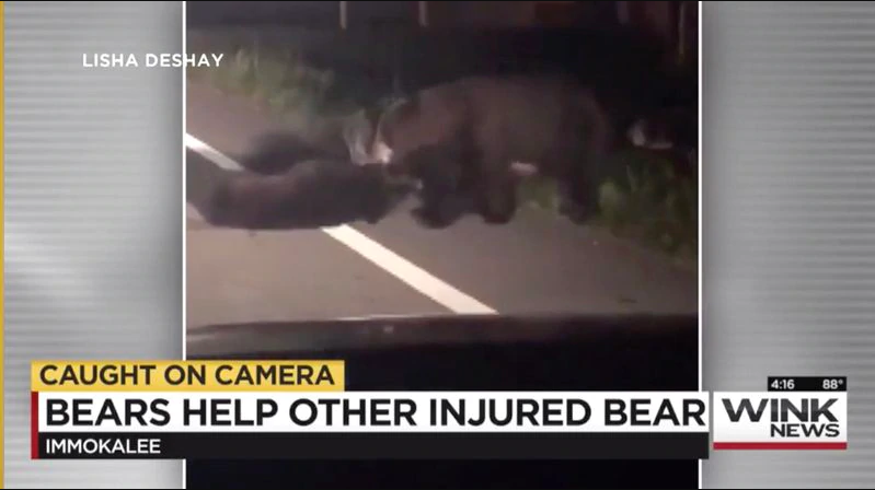 Shocking but sad video shows three bears risking their lives to pull a fallen comrade out of traffic