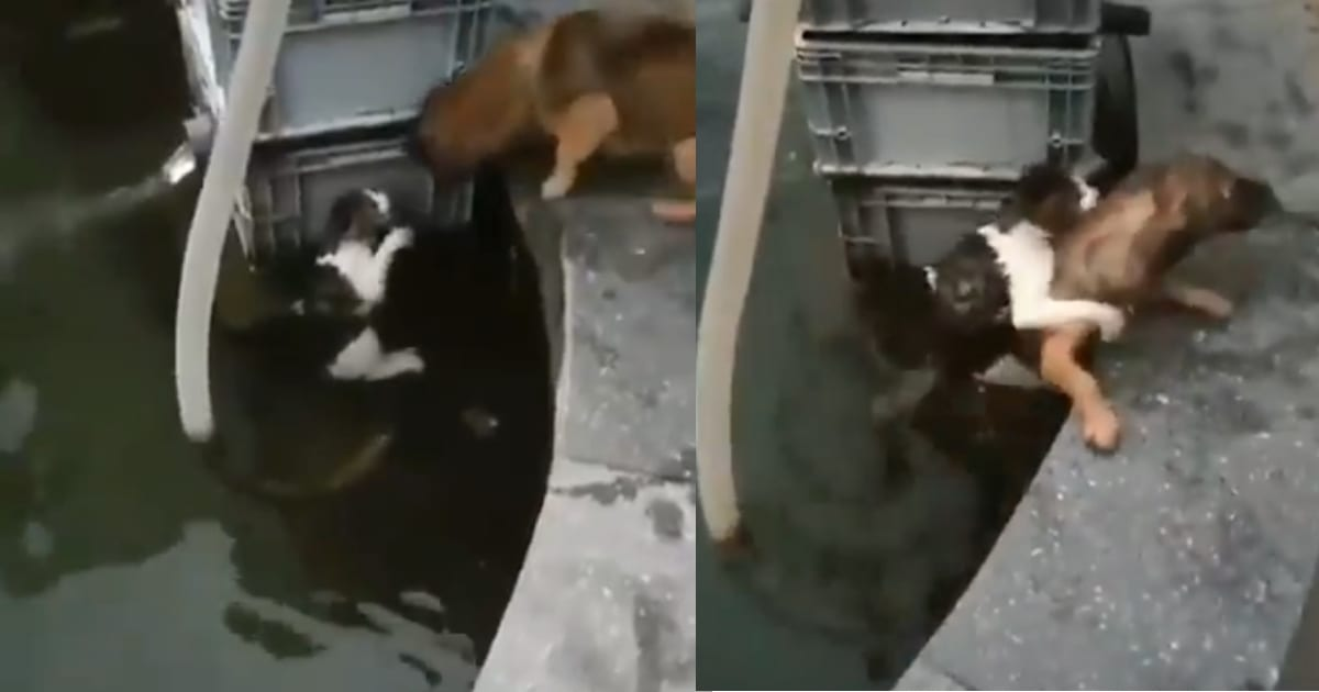 Dog Risks His Own Life To Save A Cat