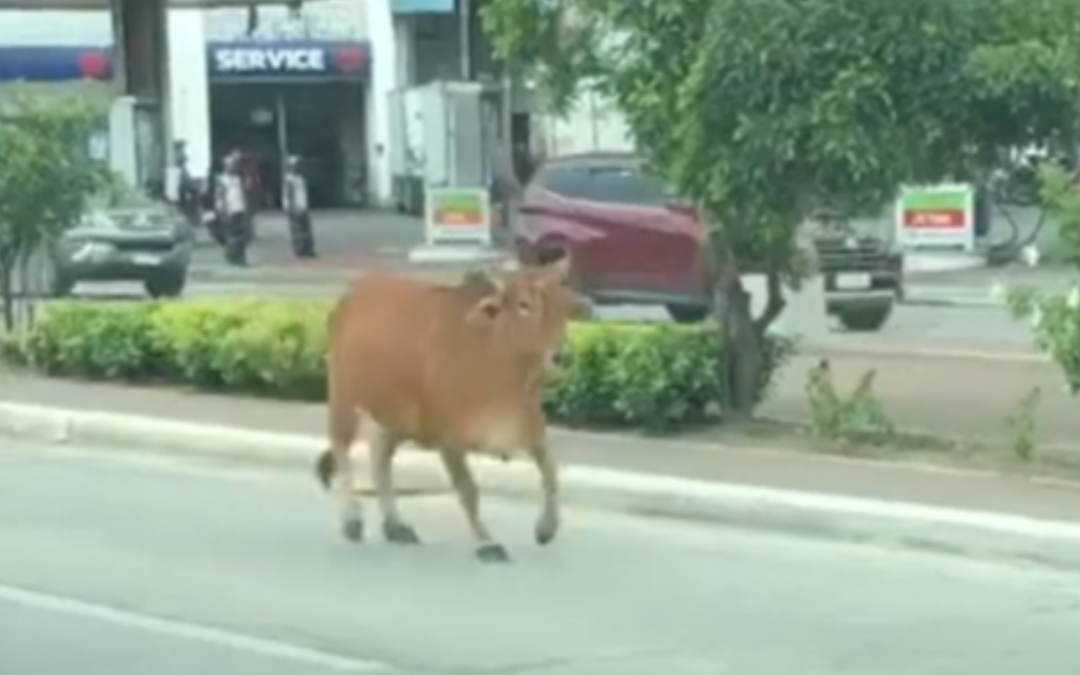 Animals Wander On The Streets In  The Philippines, First An Ostrich then A Cow