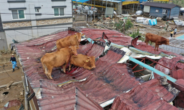 South Korea Floods Leave Animals Stranded, Including Cows On Tin Roof