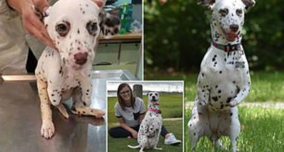 Dalmatian Puppy With Front Legs Cut Off By Dog-Meat Slaughterhouse Finds Loving Home