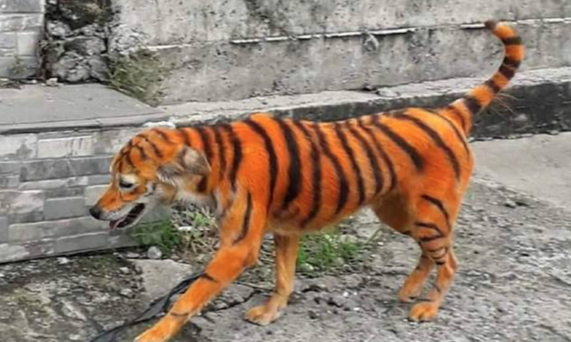 Stray Dog Painted Like a Tiger In Malaysia: Animal Rights Group Want To Catch the Culprit