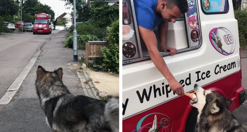 Dog Waits For The Ice Cream Truck To Receive A Treat Every Day
