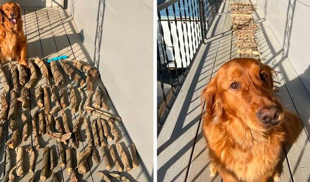 This Dog Shows His Dad How Proud He Is Of His Stick Collection