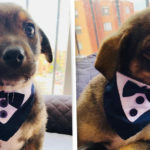 A Puppy Dressed In Tuxedo Waiting For Owners Who Never Came To Pick Him Up
