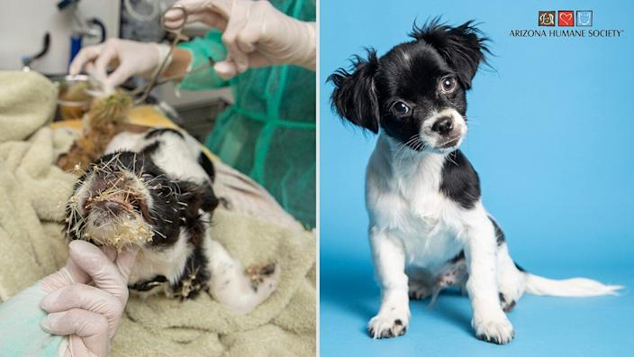 Stray Puppy Found Covered in Cactus Spines Gets Pesky Prickles Removed and Is Ready for a Home