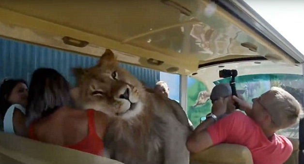 Watch: Lion Climbs Into Safari Vehicle Full of People