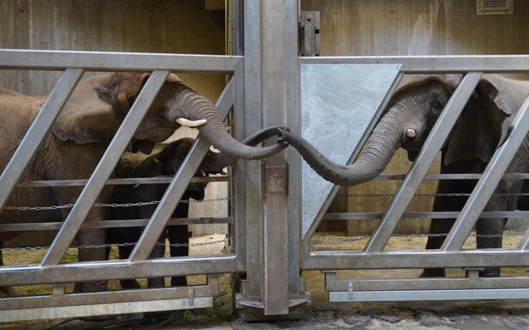 Hearthwarming Moment: An Old Elephant Reunited With Her Daughter and Granddaughter After 12 Years