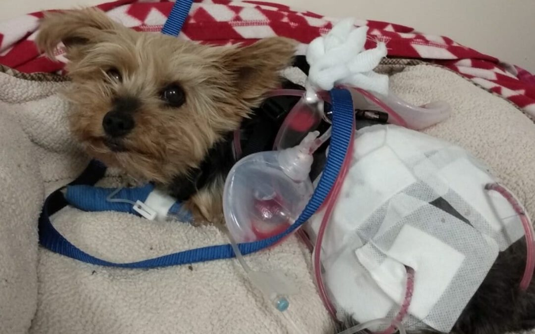 10-Year-Old Saved From Coyote By Pet Yorkie